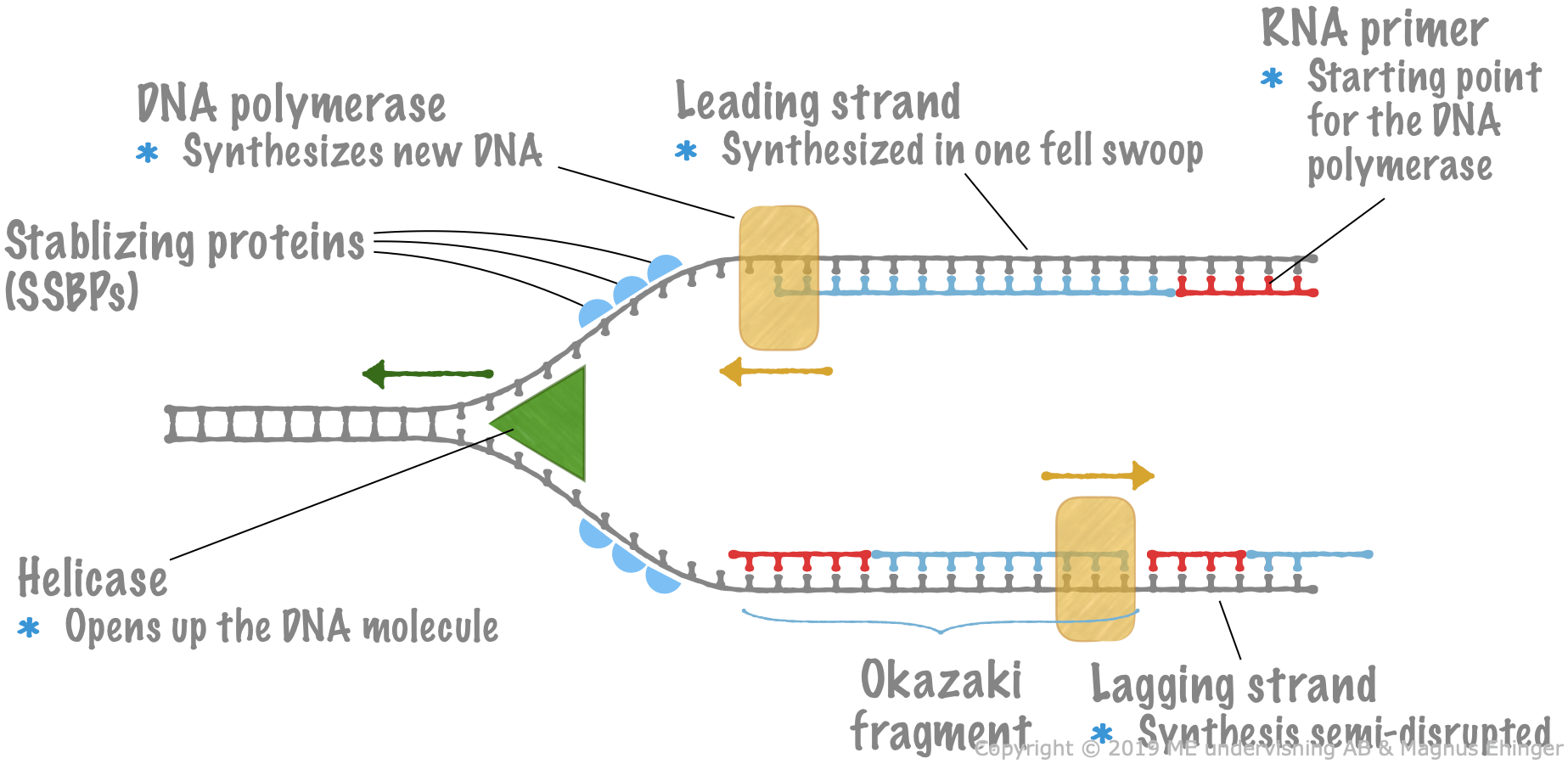 When DNA is replicated, a structure called a replication fork is formed.