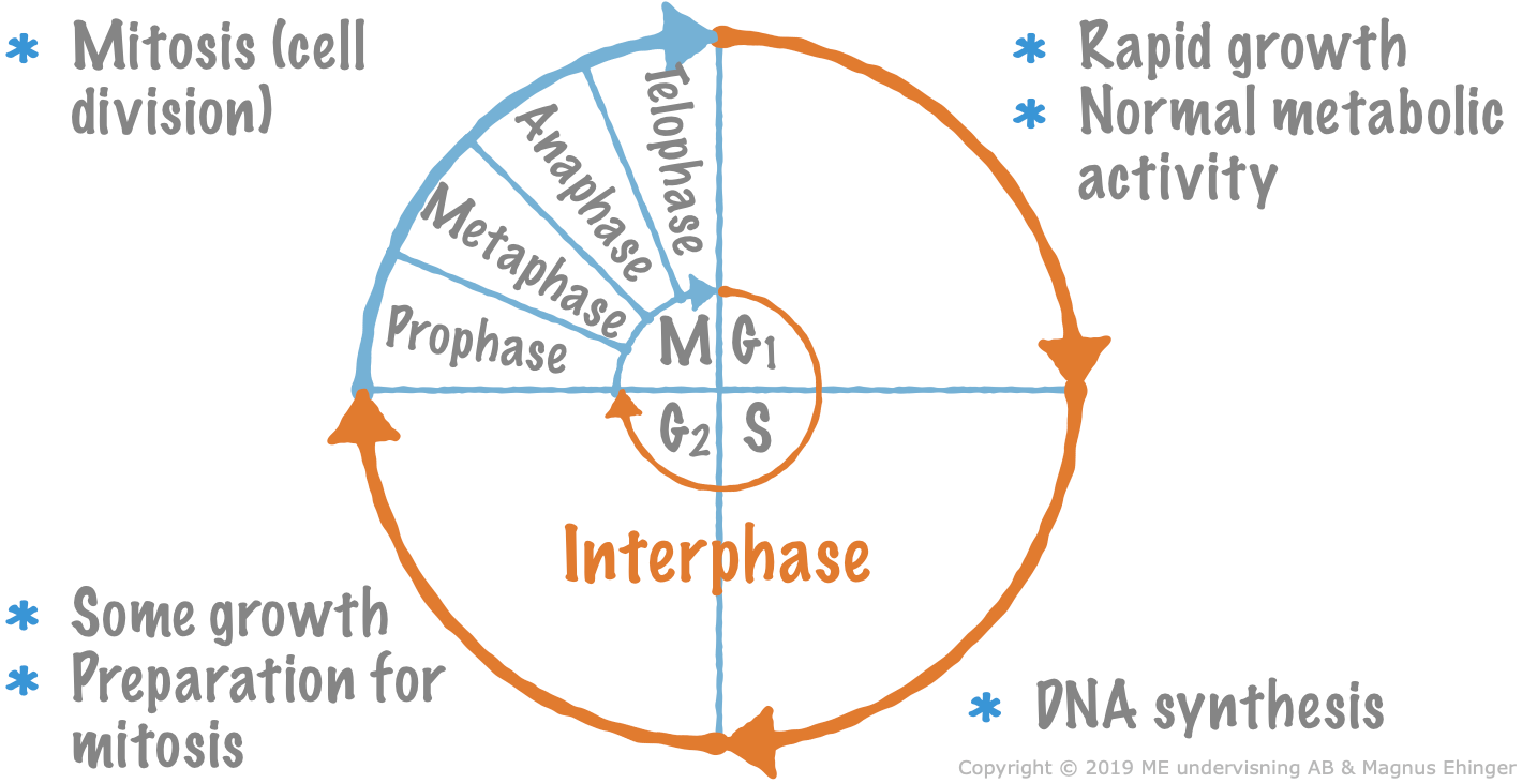 The cell cycle. DNA replication takes place during the S phase.