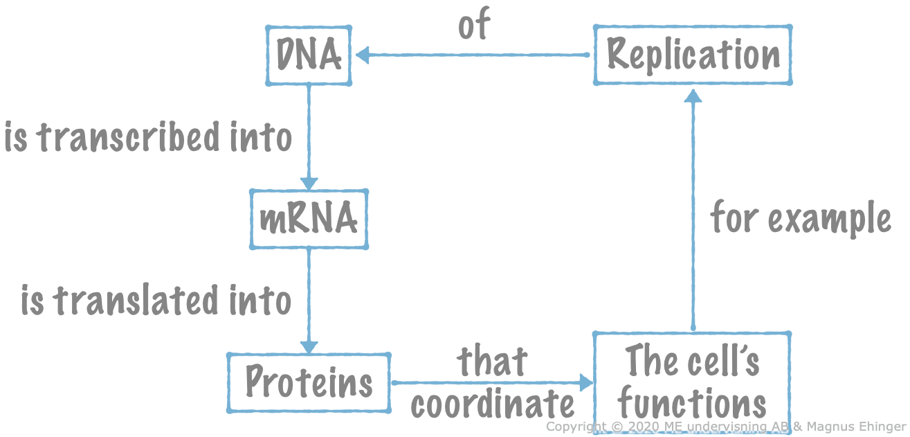 Concept map of the central dogma of molecular genetics.