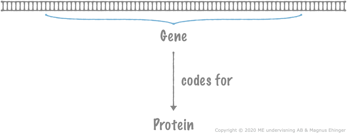 Genes code for proteins.