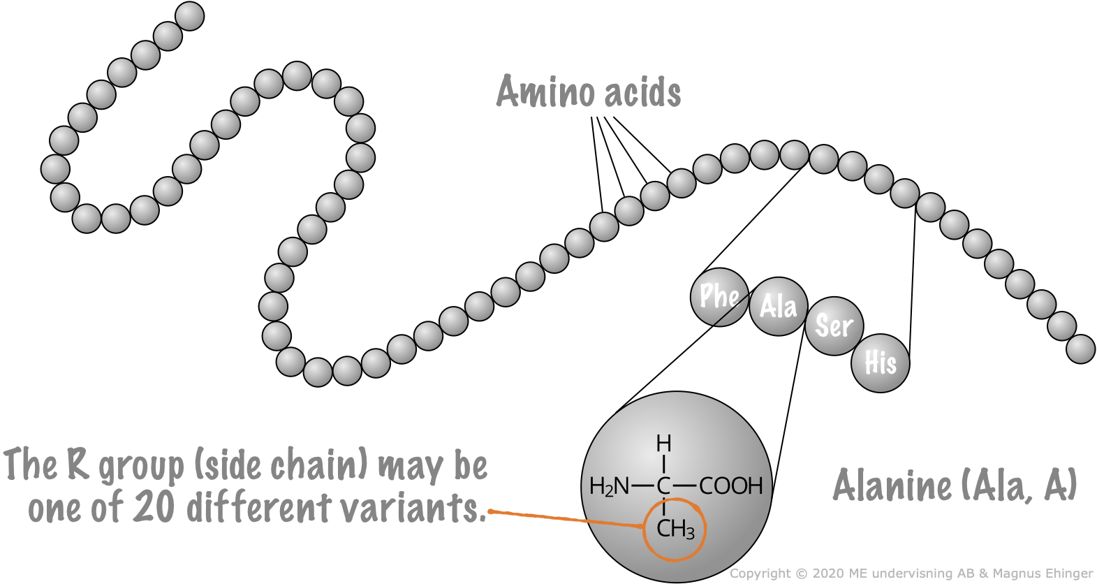 Proteins are long chains of amino acids linked together.