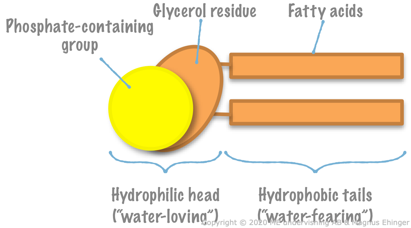Phospholipids have a hydrophilic head and two hydrophobic tails.