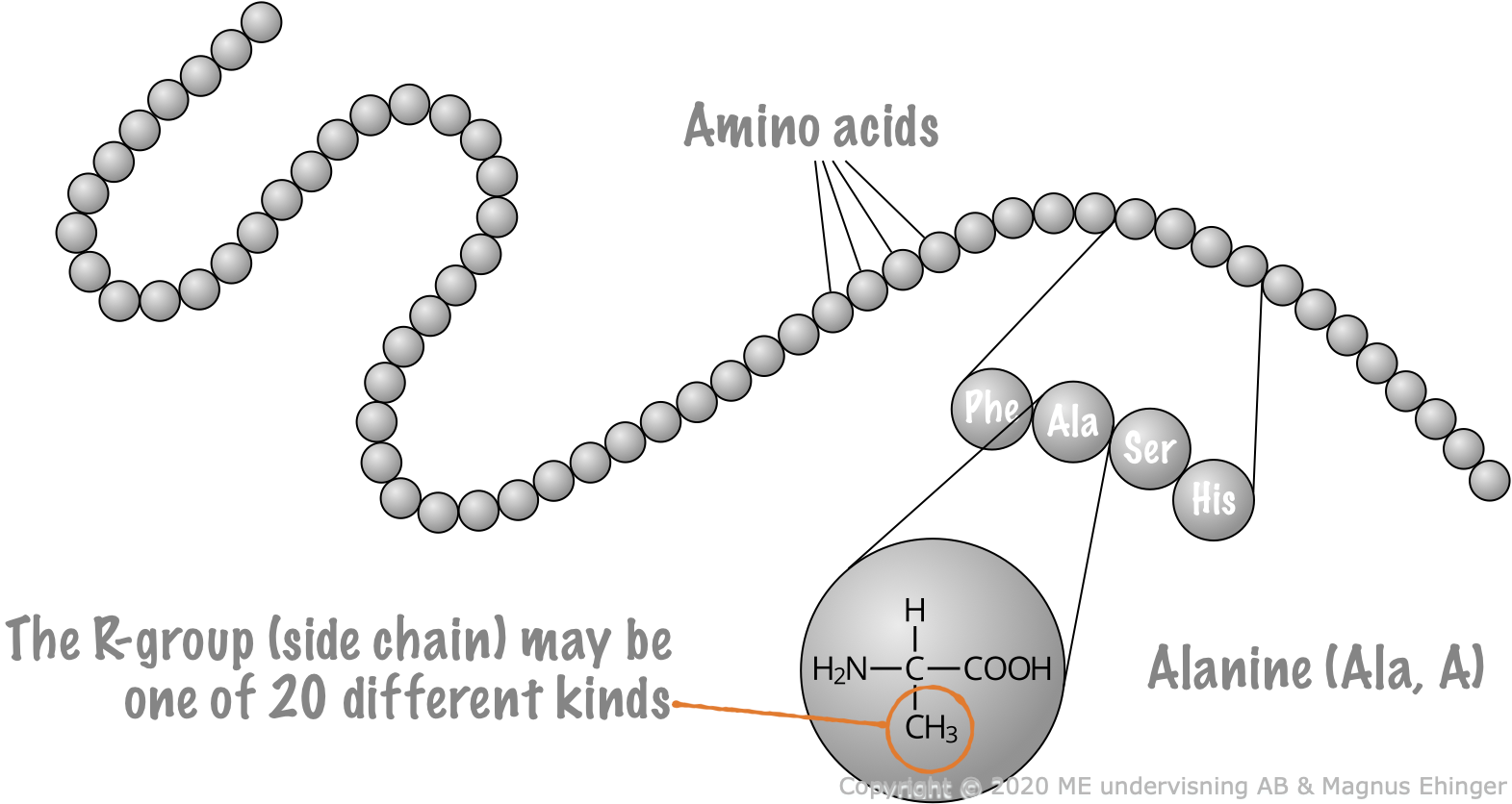 Proteins are made of amino acids strung together in a long, long chain.