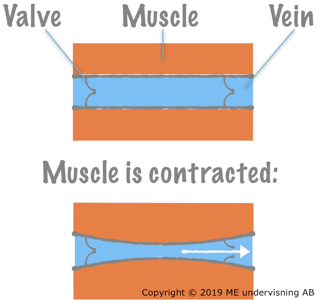 When the surrounding muscle contracts, the vein is compressed, the valve opens, and the blood is pushed forward.