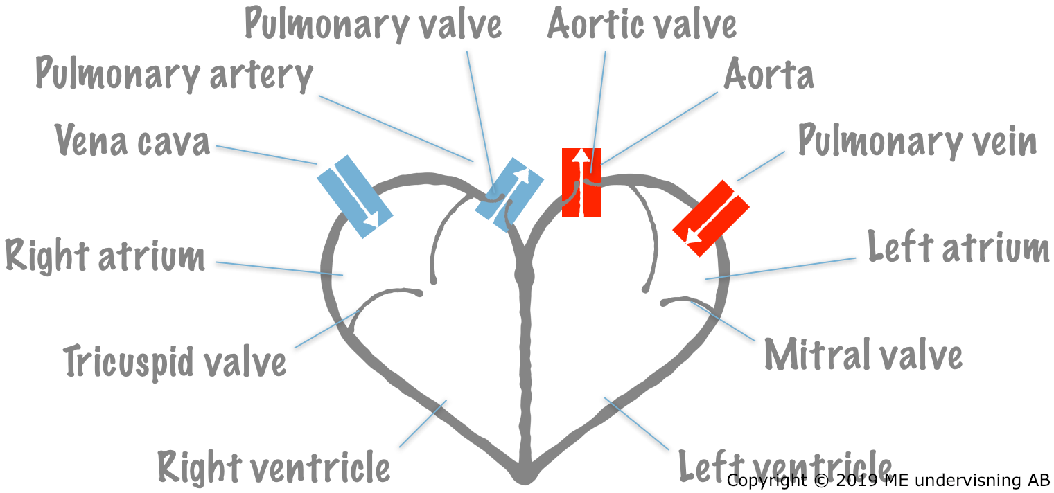 Schematic diagram of the heart.